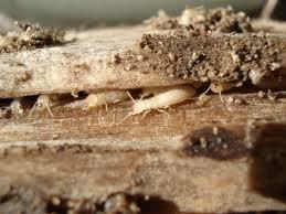 Anti Rayap - Bahayanya Seekor Rayap Terhadap Bangunan Anda